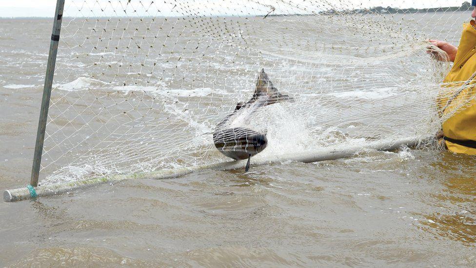 A fish in a net