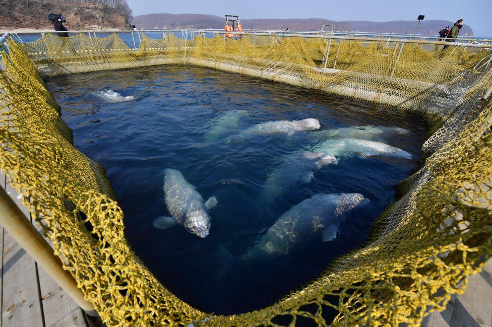 Belugas at Srednyaya Bay, 1 Mar 19