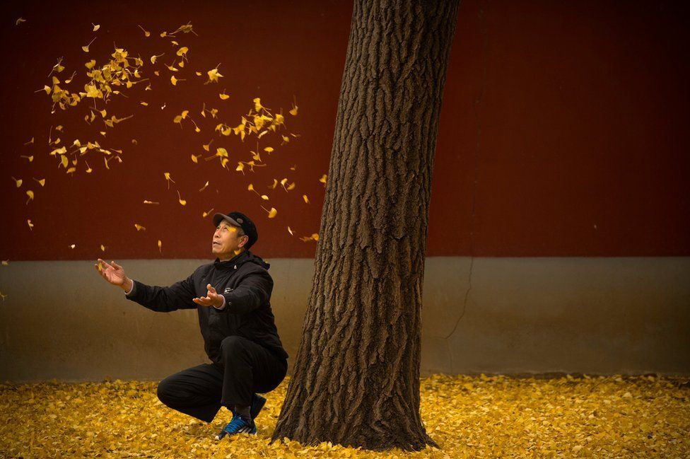 An elderly man tosses fallen gingko tree leaves into the air in a park in Beijing