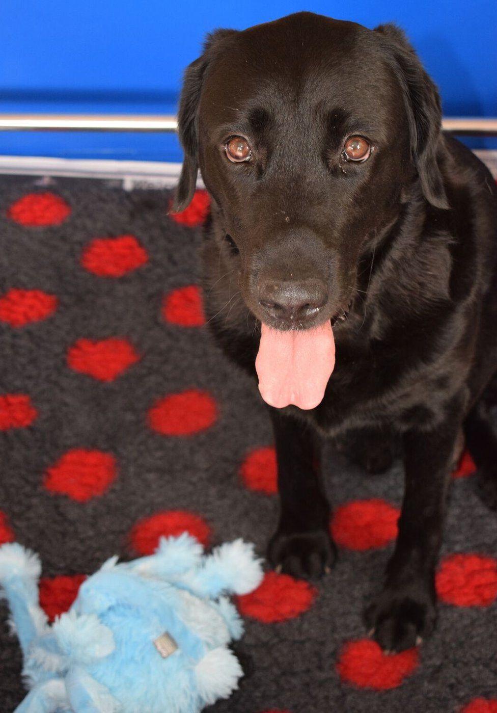Abby, an adult black Labrador