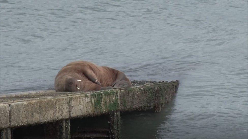 Walrus in Tenby