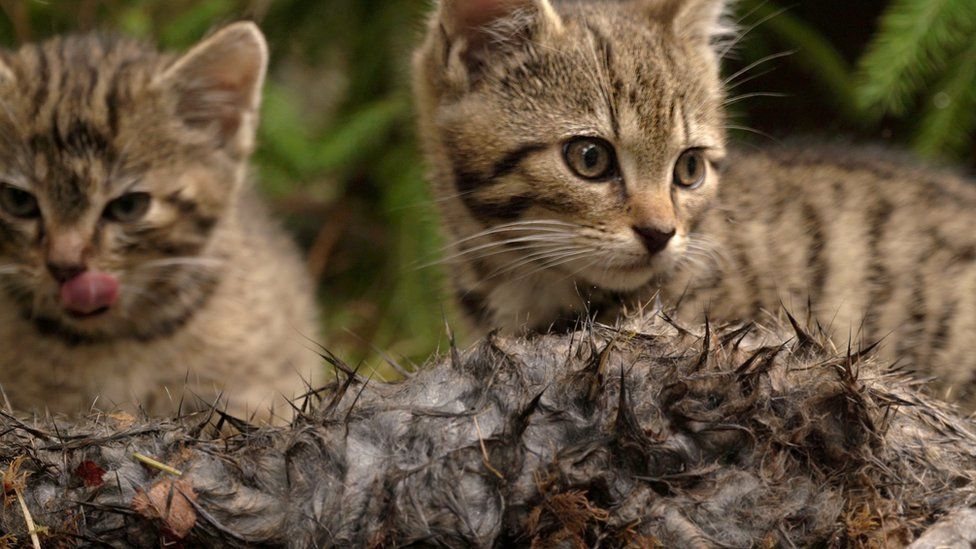 The male and female Scottish wildcat kittens preparing to eat a rabbit