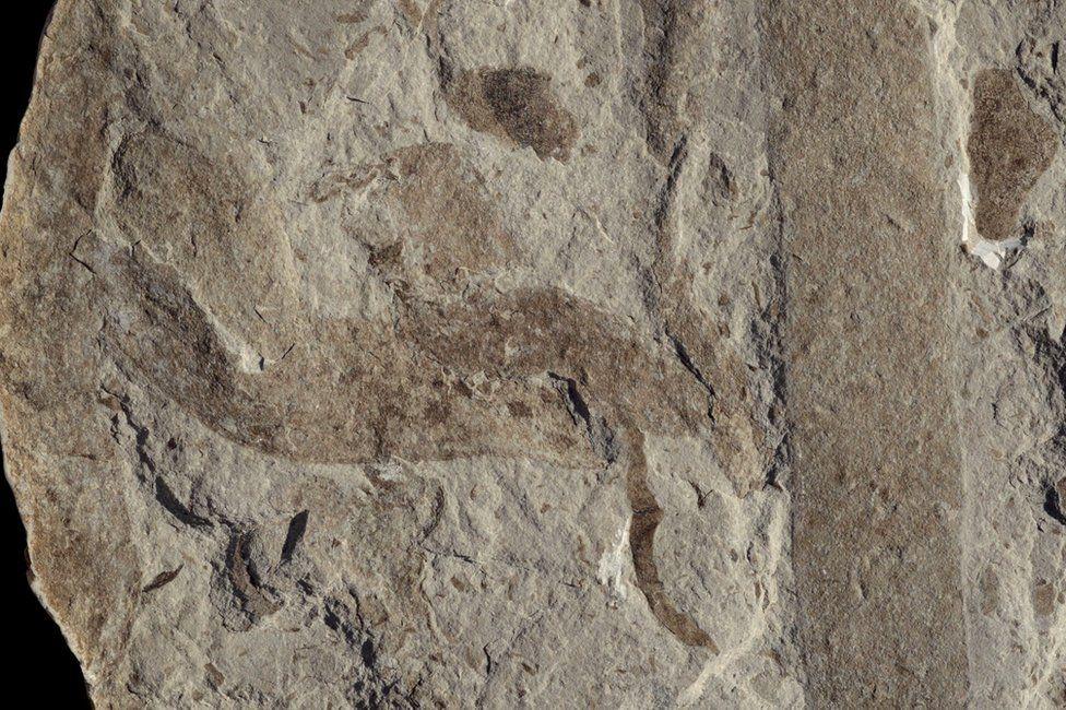 Macroscopic fossils