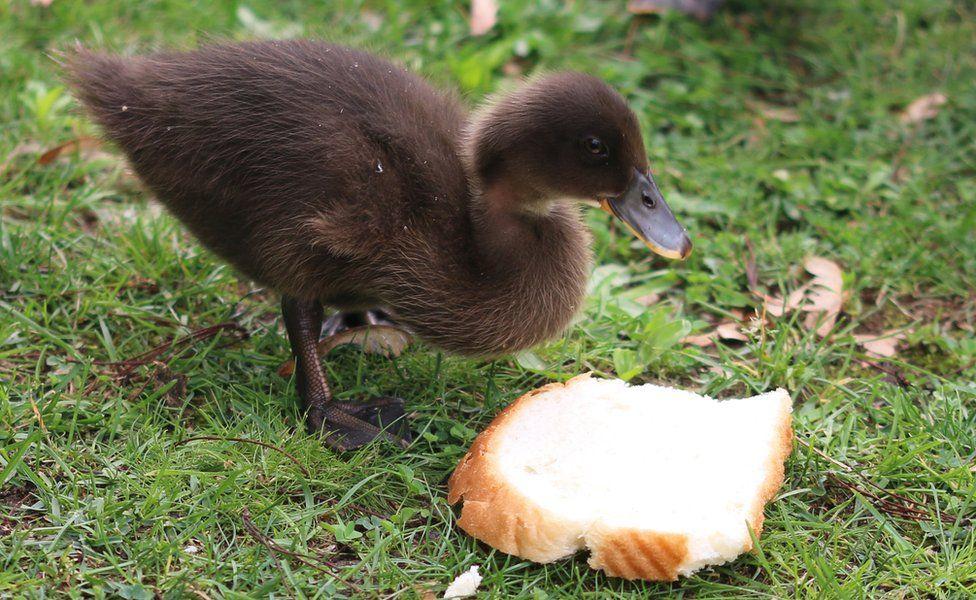 Duckling eating bread