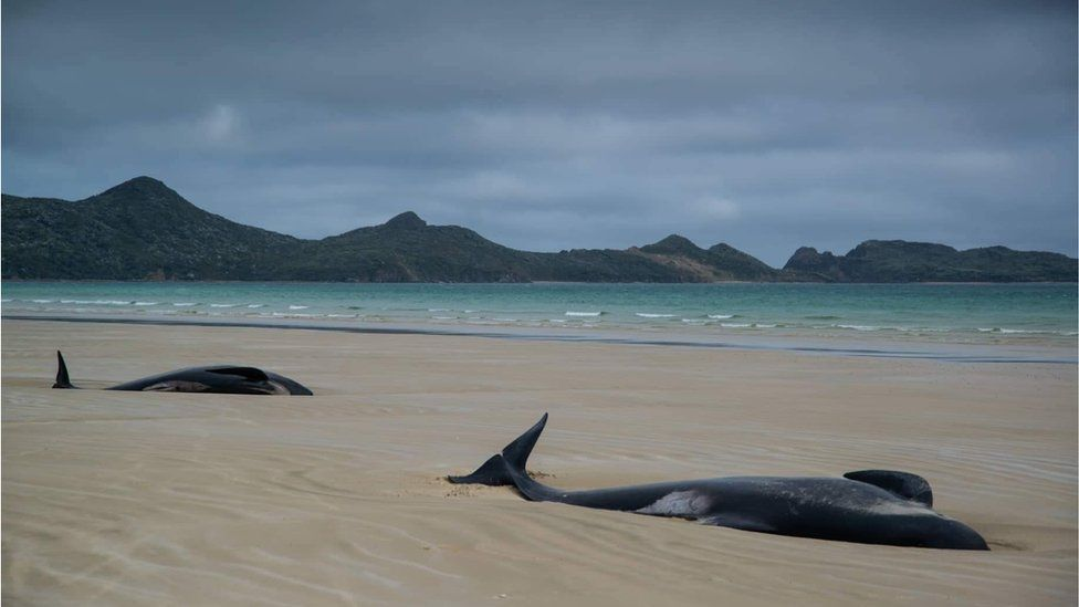 Whales stranded on a beach