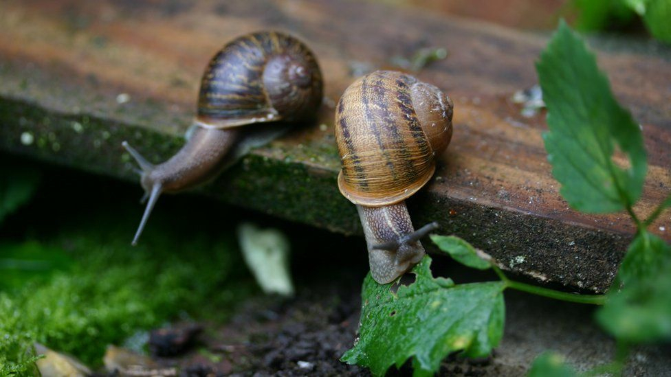 The left-coiled snails