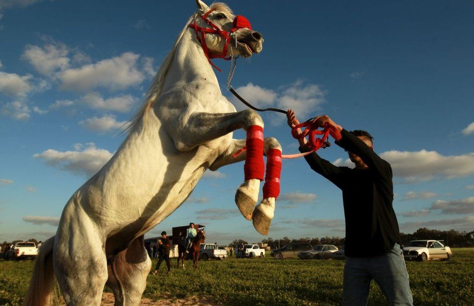 A handler guides a rearing Arabian horse in a red bridle and matching red horse boots in Libya - Friday 12 February 2021