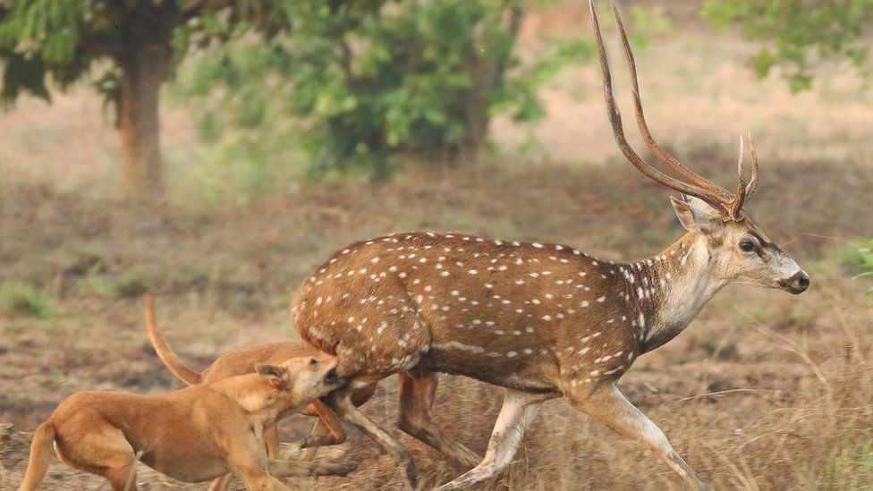 Dogs attack a spotted deer in Karnata state of south India