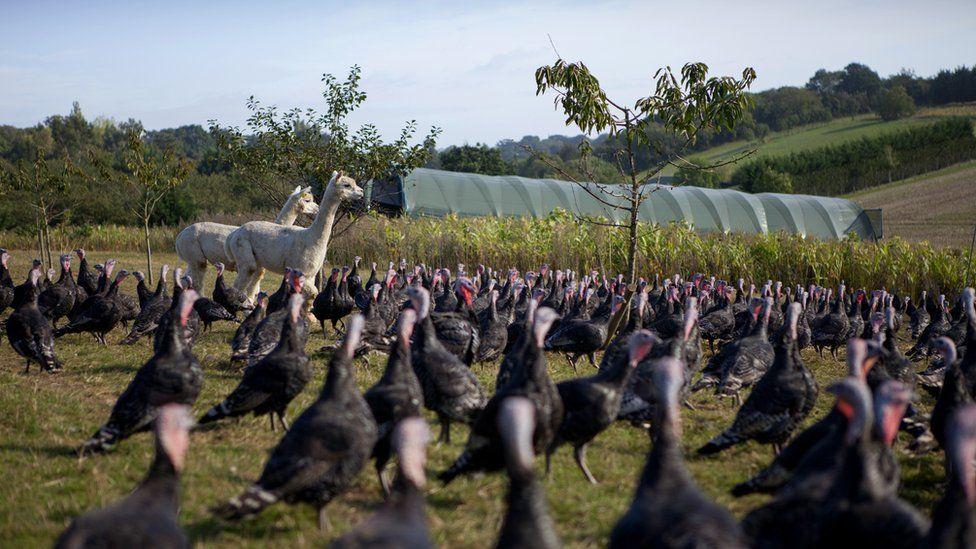 Turkeys and alpacas at Copas Turkeys