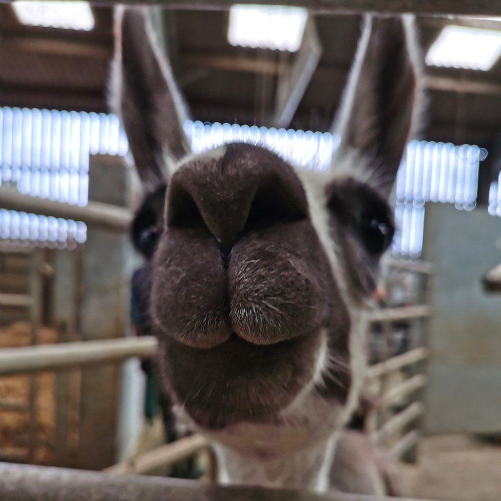 Fifi the 'Franklin llama' lives at a farm facility at the University of Reading