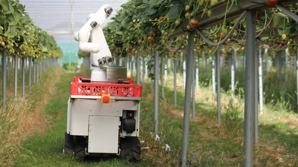 Dogtooth's strawberry picker