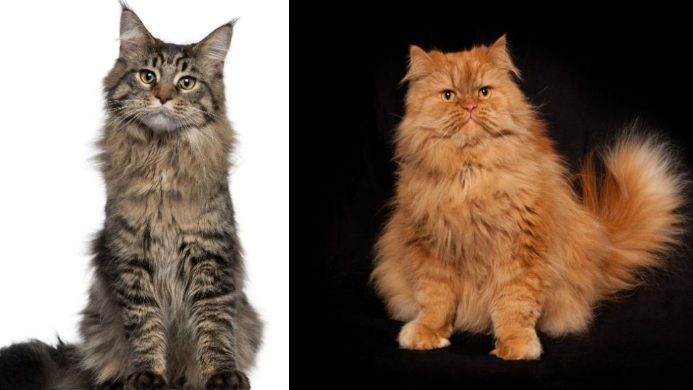 Maine Coon and Red Persian