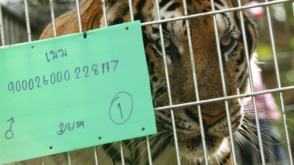 A tiger inside a cage after he was tranquilized to be moved by Thai National Park officials from the Tiger Temple in Kanchanaburi province (03 June 2016)