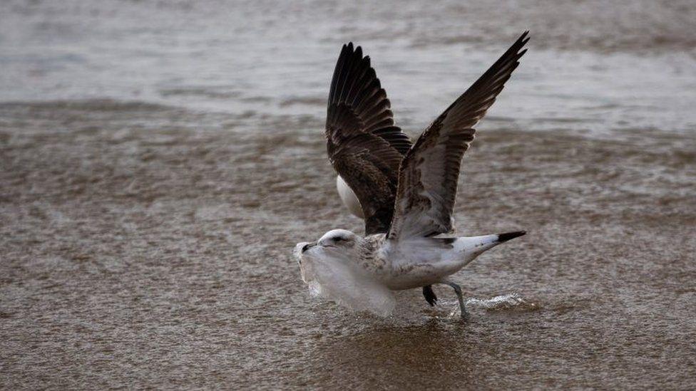 A seagull picks a plastic bag on the seashore at Caleta Portales beach in Valparaiso, Chile on July 17, 2018.