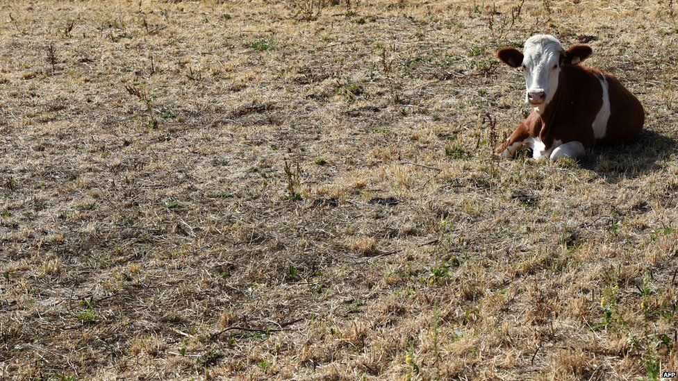 A cow rests in a dry meadow on 7 August 2015 in Mornant, near Lyon, southeastern France