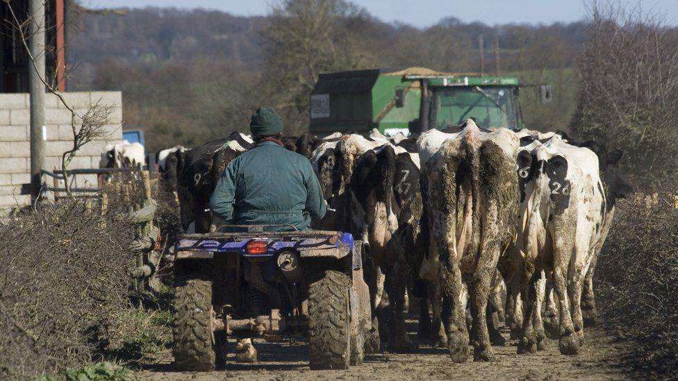 Farmer herding cows in Wales