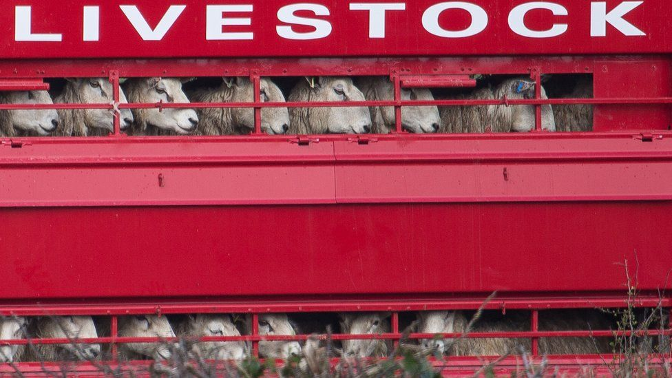 Sheep being transported in a bright red lorry