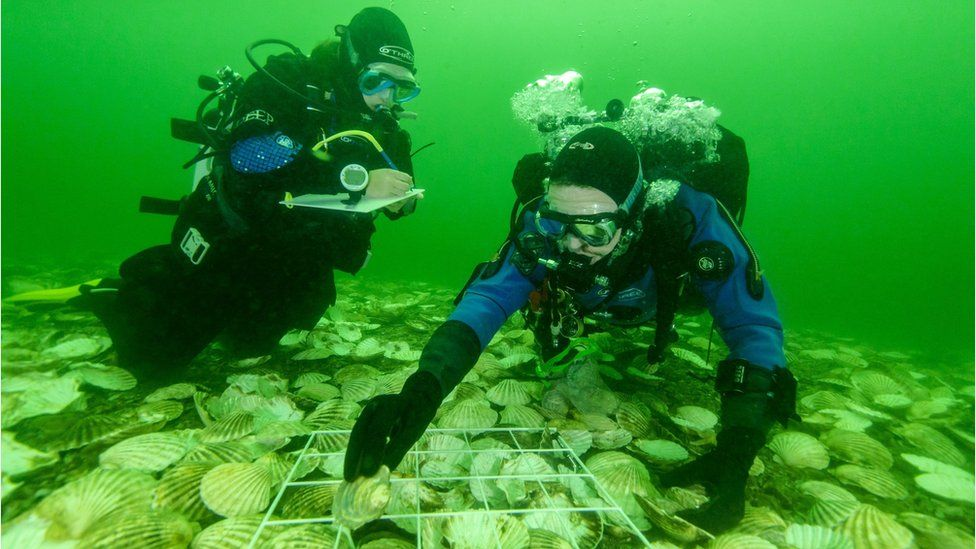 divers placing oysters on reef