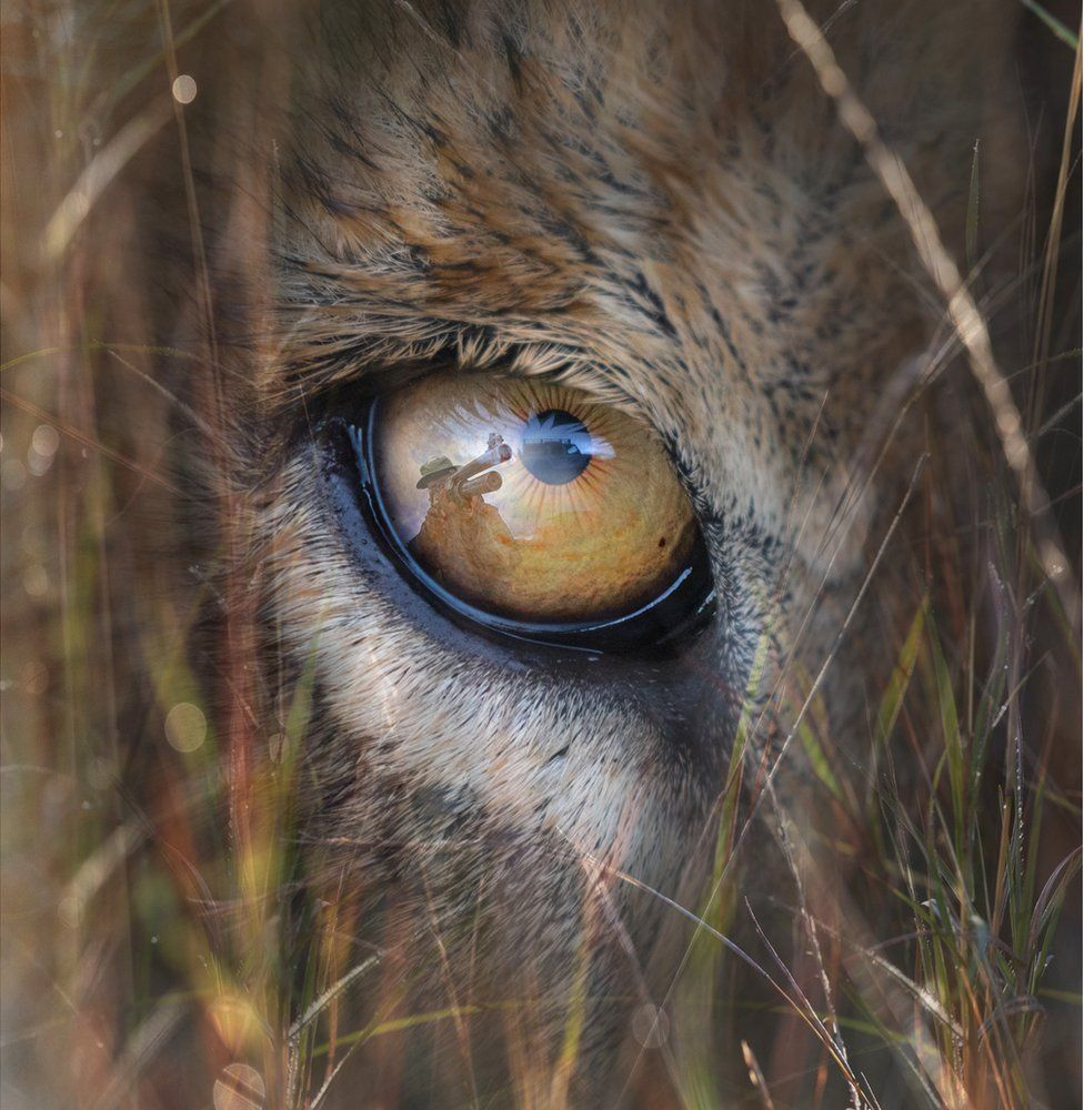 An abstract image of a close up of a lion's eye with a hunter and his gun reflected in the eye