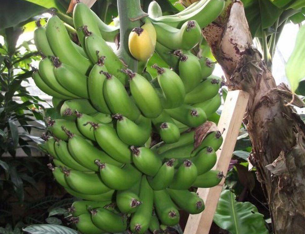 Chatsworth's banana plant