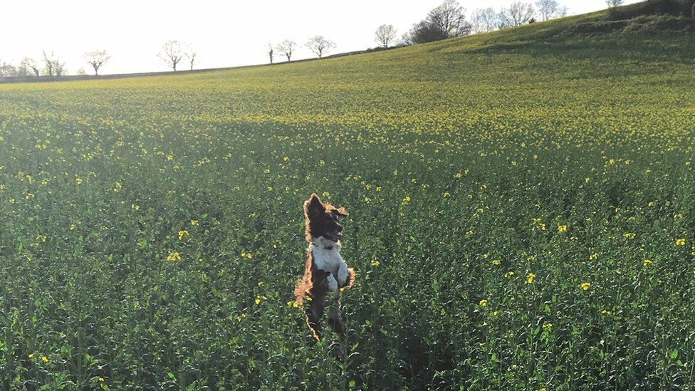 A dog jumping in a field