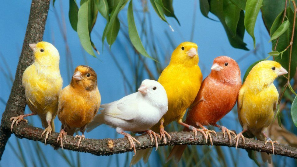 Harzer roller canaries on a branch