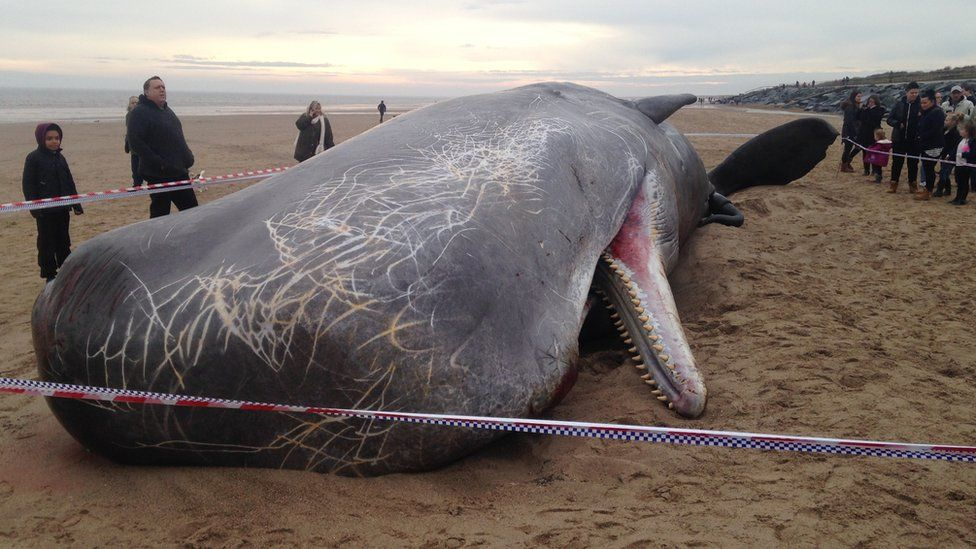 Dead sperm whale, Skegness