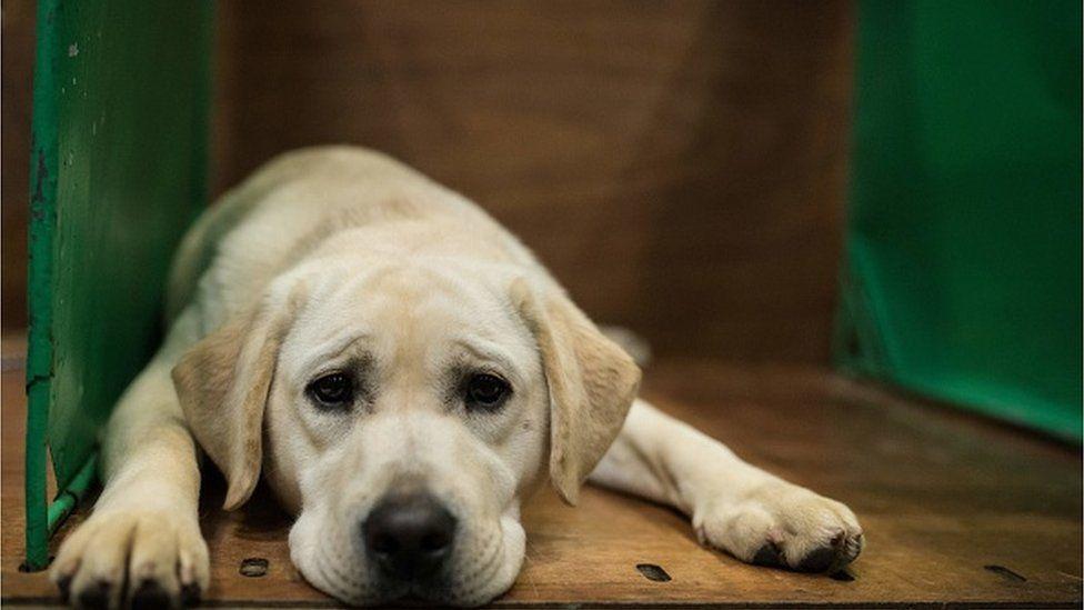 No-deal Brexit: NI guide dogs face sea trip to enter Republic of Ireland