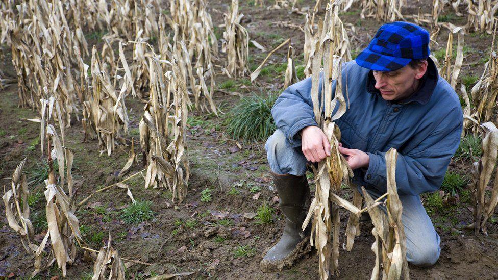 Farmer checking failed harvest