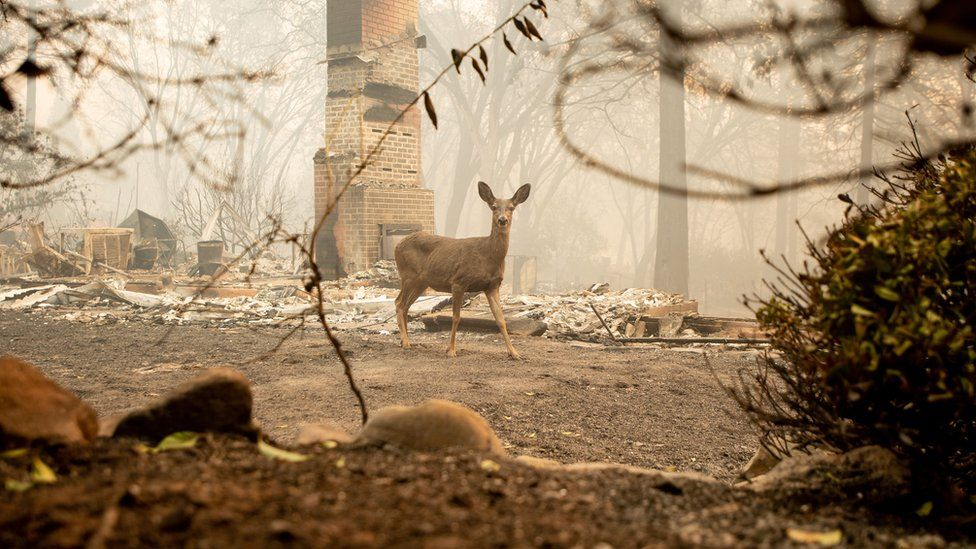 A deer walks through scorched remains in Paradise