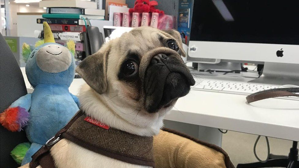 A pug looks utterly adorable sat in a computer chair beside a desk. The desk is full of books and has an Apple computer. Beside the dog is a stuffed blue unicorn toy. The dog does not give off the impression that he knows how to use a computer.