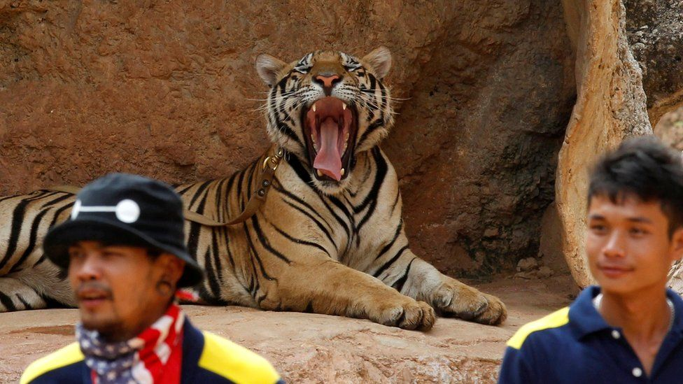 """A tiger yawns before the officials start moving them from Thailand""""s controversial Tiger Temple in Kanchanaburi province"""