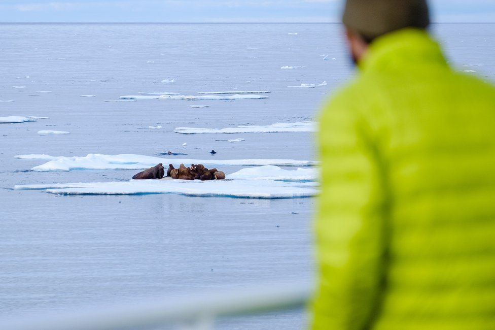 a researcher looks out at walruses from the side of the boat