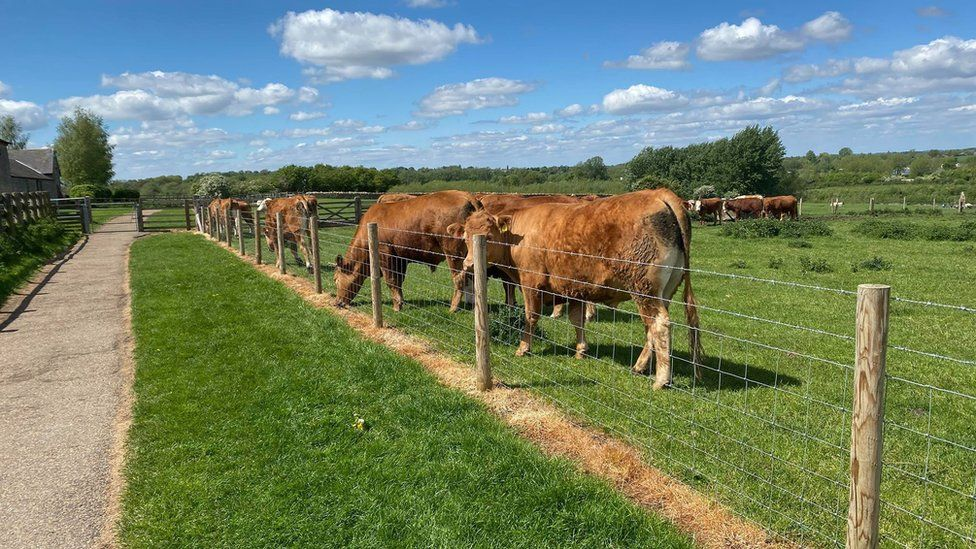 A field of cows in the Ouse Valley Park, Milton Keynes