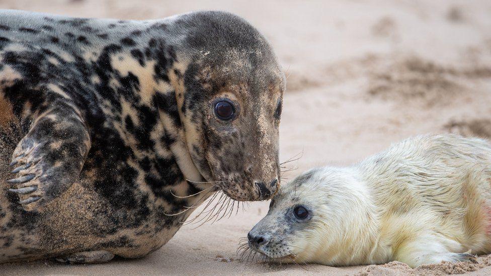 Grey seal with newborn pup in Horsey, Norfolk