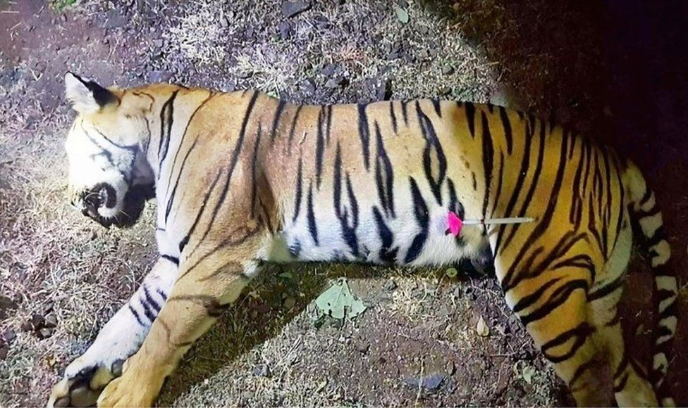 """This handout photo released by the Maharashtra Forest Department on November 3, 2018 shows the dead body of the tiger known to hunters as T1 after being shot in the forests of India""""s Maharashtra state near Yavatmal"""