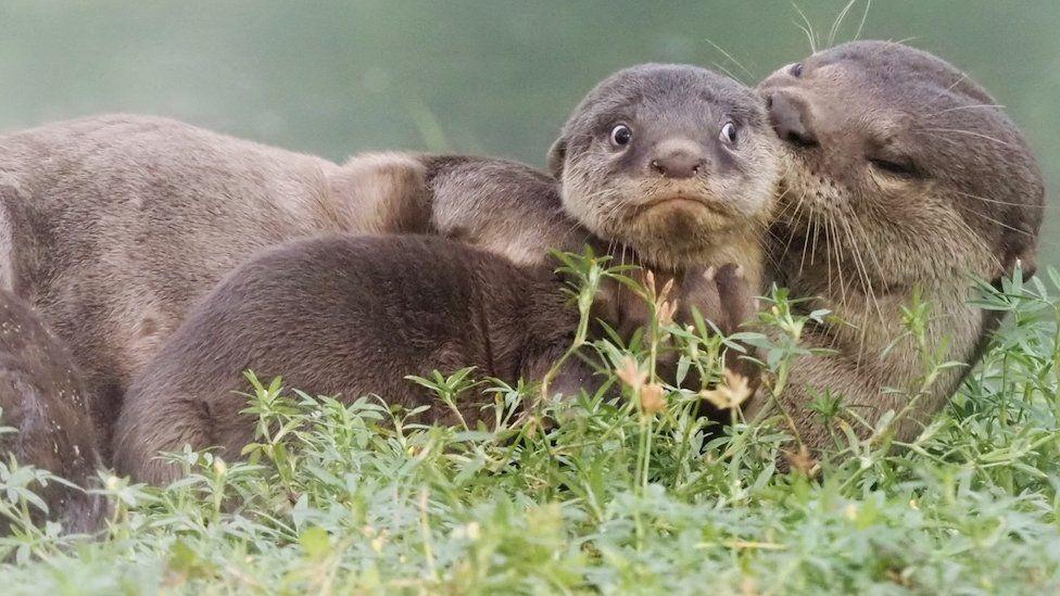 Uma lontra jovem parecendo envergonhada ao ser tocada por outros animais da espécie