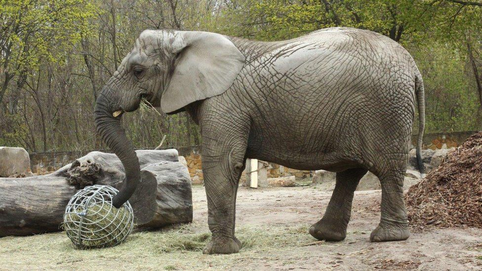 Fredzia, a young female African elephant at Warsaw Zoo