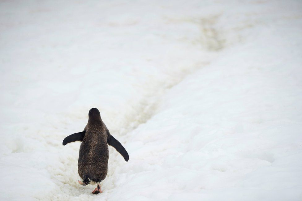 A penguin walking on ice