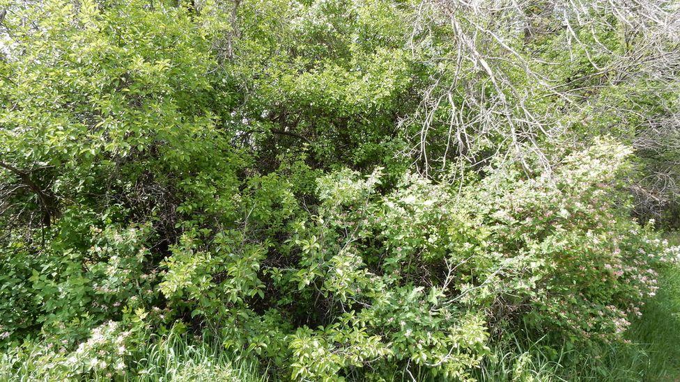 Buckthorn bush (Image: Matt Lavin/Flickr)