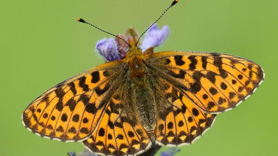 The habitat at Mabie has been developed to help the butterfly thrive