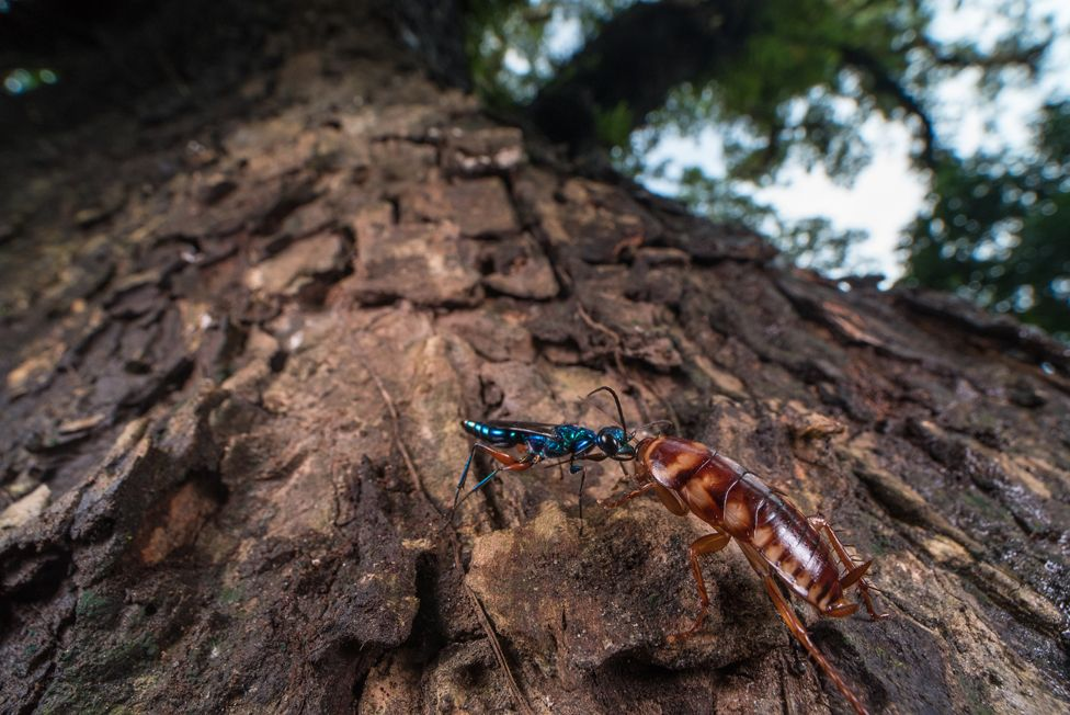 A jewel wasp attacking a cockroach.