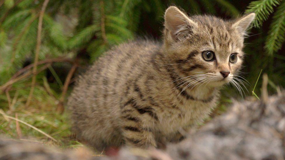 The female Scottish wildcat kitten approaching a rabbit