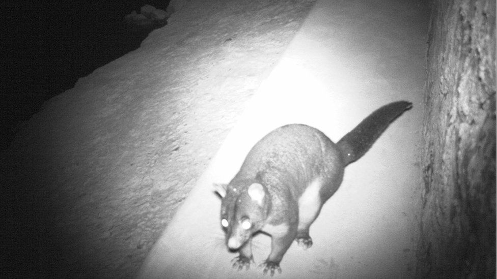 Possum uses a wildlife crossing under a road