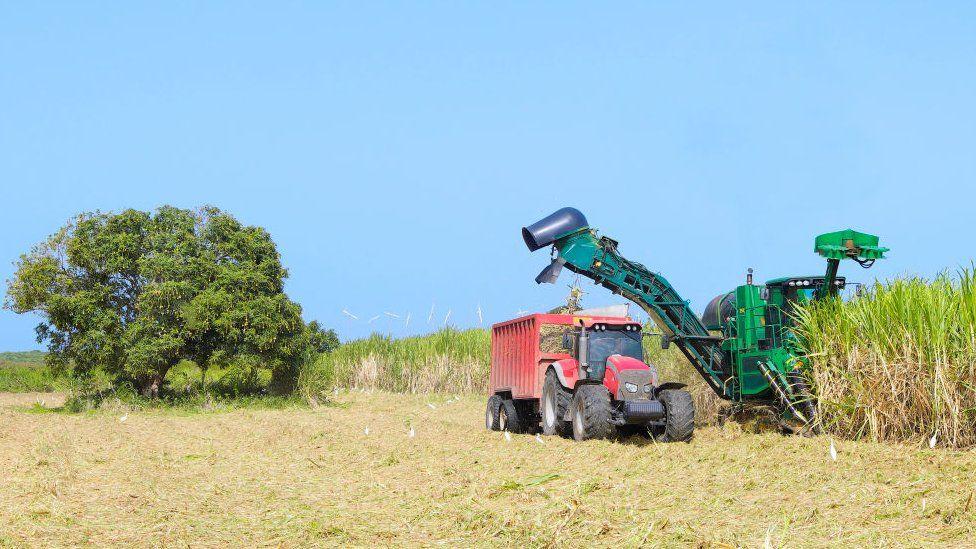 Sugarcane being harvested