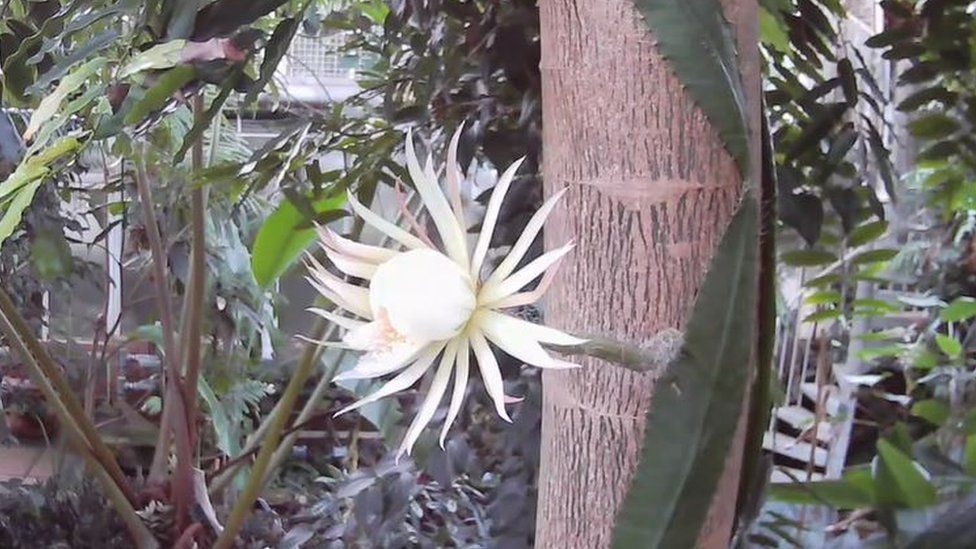 The moonflower in bloom