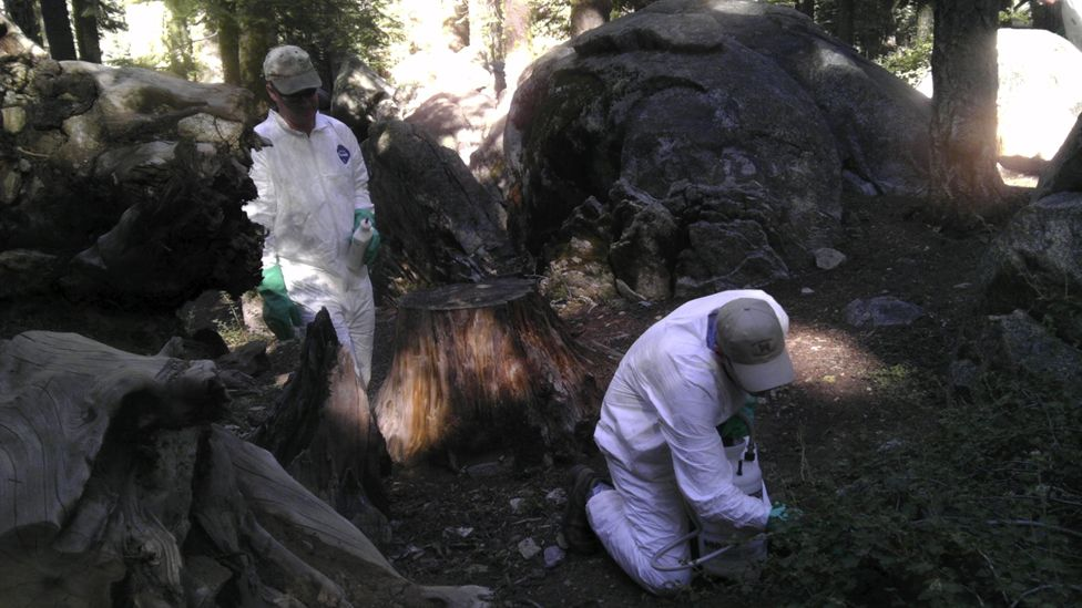California Department of Public Heath workers treat the ground to ward off fleas at the Crane Flat campground in Yosemite National Park, California, on 10 August