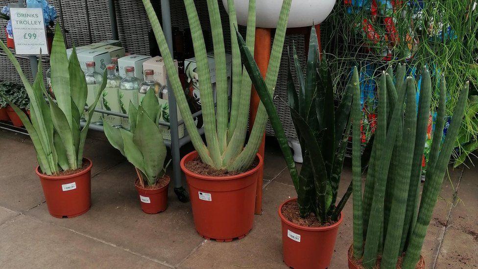 A range of snake plants on offer