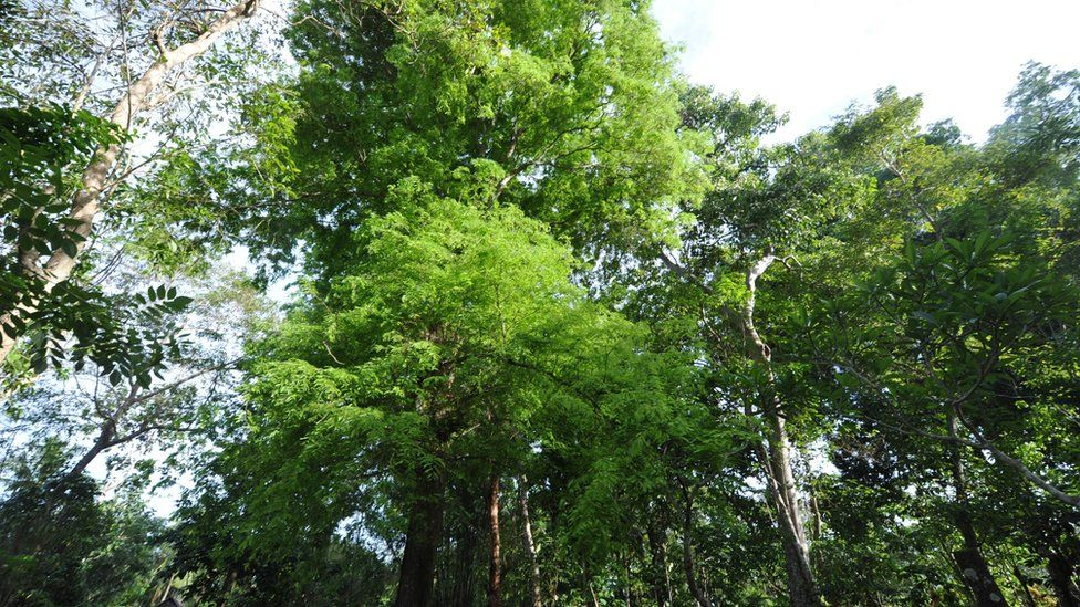 This picture shows trees at Amatoa village in Bulukumba, south Sulawesi