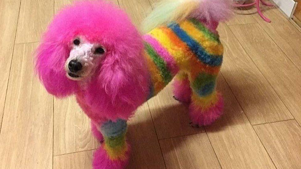 Rainbow-coloured poodle